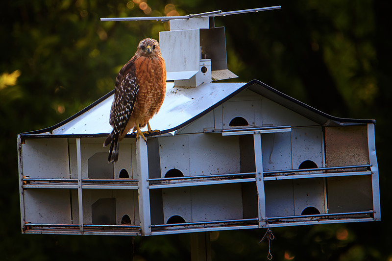 8.8.18 - Prairie Creek Recreation Area: Red-Shouldered Hawk