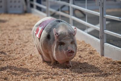 Swine-Races