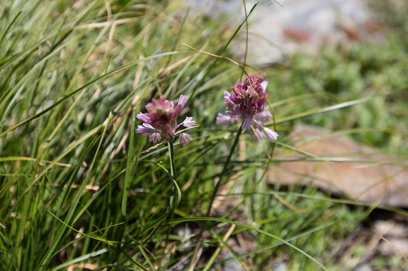 Becho, Allium kunthianum