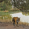 Wide shot of a tiger walking across a lake in Ranthambhore