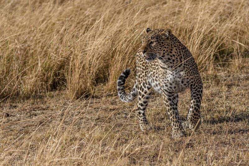 Leoaprd hunting