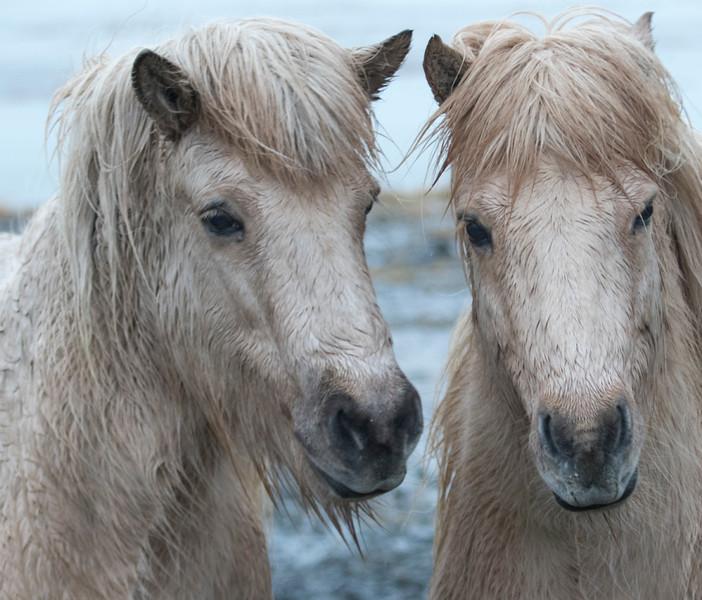 Horses_Iceland-27.jpg