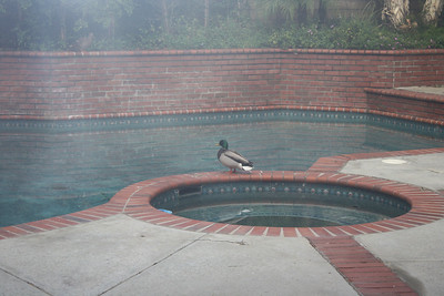 2010 Ducks