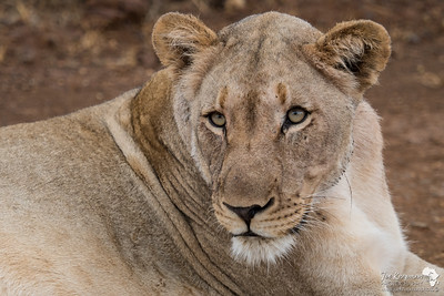 Lioness cool stare