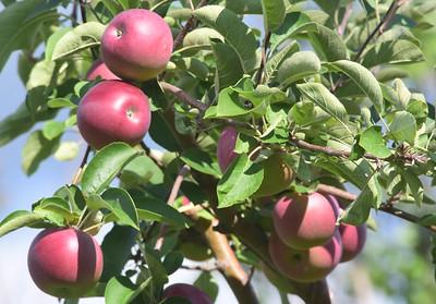 Jaeschke's Apple Orchard - 091918