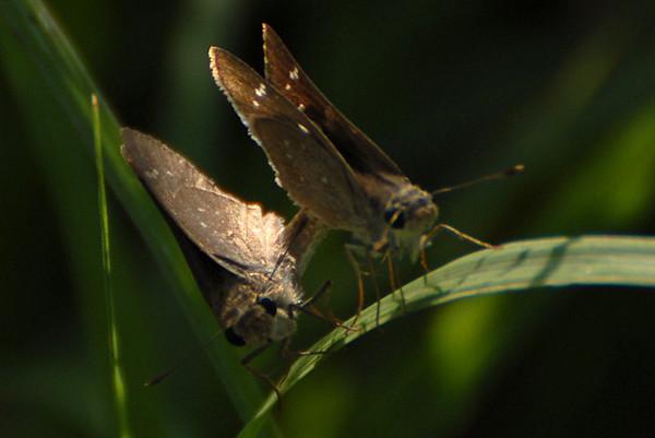 UAE butterflies & moths