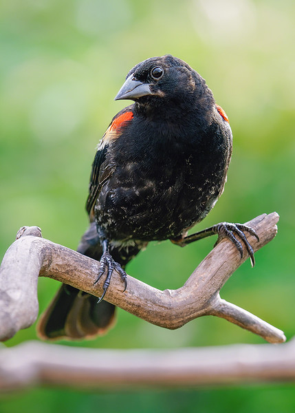 s5x7  Male Red Winged Blackbird copy.jpg