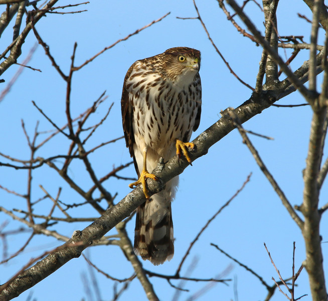 Coopers hawk tree.jpg