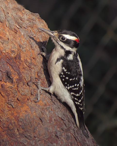 sx50_hairy_woodpecker_bit_124.jpg