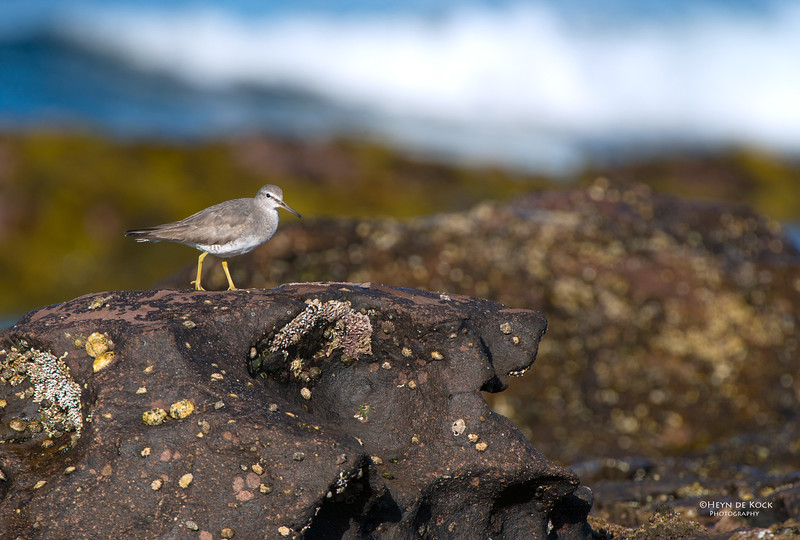 Grey-tailed Tattler, Windang, NSW, Oct 2013-2.jpg