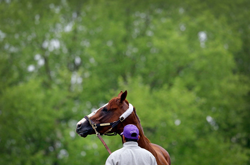 . Kentucky Derby winner California Chrome waits to be bathed after a workout at Pimlico Race Course in Baltimore, Wednesday, May 14, 2014. The Preakness Stakes horse race is scheduled to take place May 17. (AP Photo)
