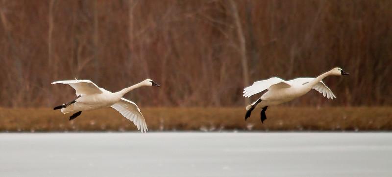 2011 swan migration aylmer (16 of 51).jpg