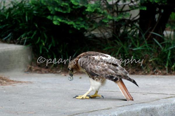 Hawk 7-26-10
