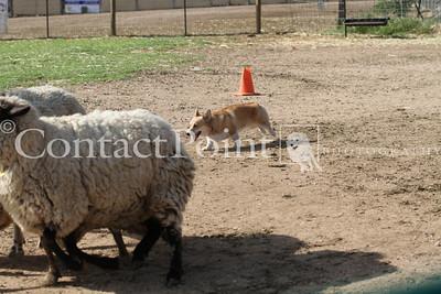 BCCGLA AKC Herding Trial - April 28-29, 2012