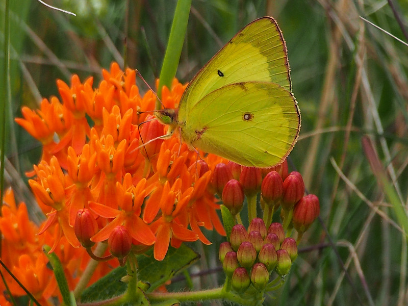 Butterfly Weed and Clouded Sulphur