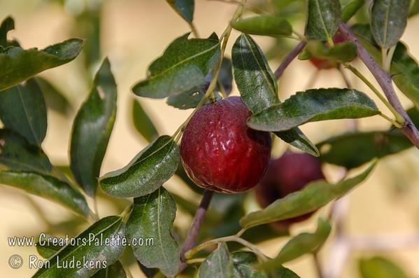 Honey Jar Jujubes (Chinese Date) (Ziziphus jujuba)