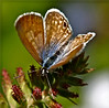 Blue Butterfly Fibers