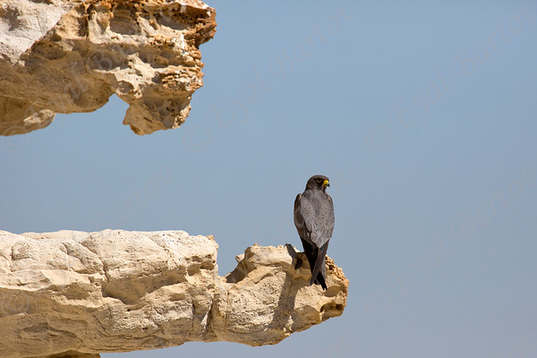 Sooty Falcon (Falco concolor) - בז שחור