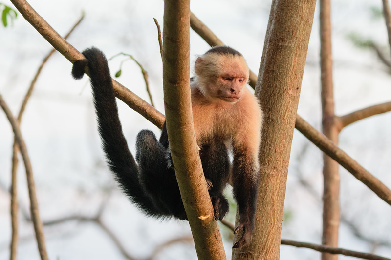 Capuchin monkey hanging out near the lodge.
