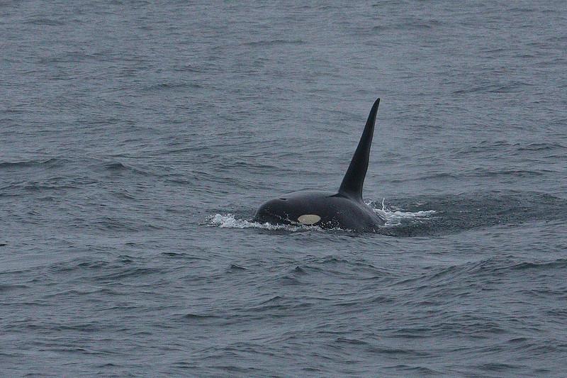 Orcas000011.JPG