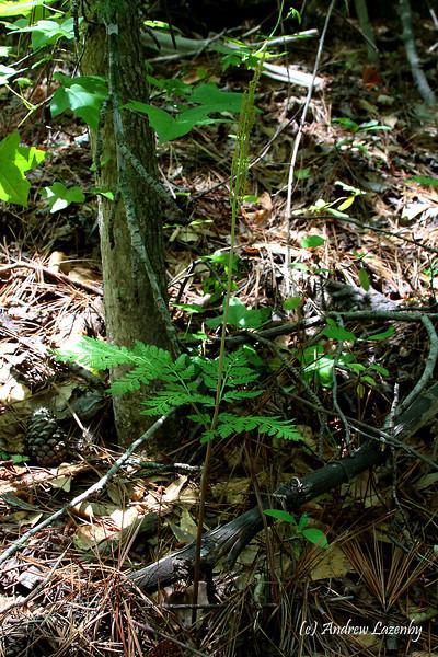Botrychium virginianum.jpg