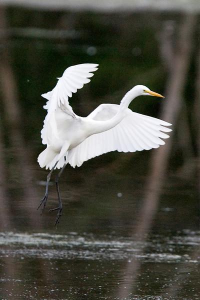 egrets-36-26.jpg