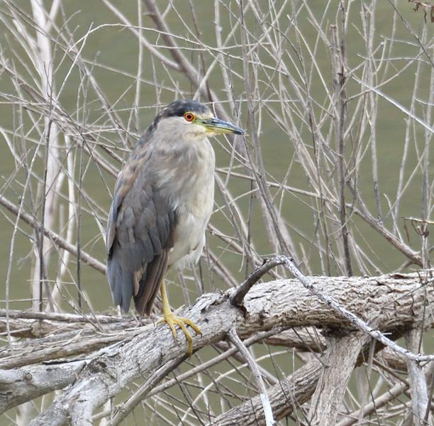 Black-Crowned Night Heron - 6/76019 - Lake Hodges Bernardo Bay Trail