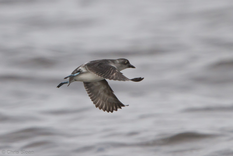 Cassin's Auklet at pelagic out of Bodega Bay, CA (10-15-2011) - 466.jpg