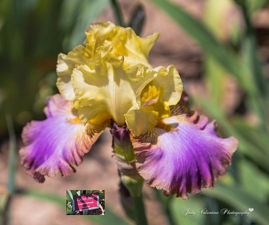 Max's Irises