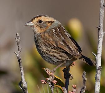 Nelson's Sparrow Ammodramus nelsoni