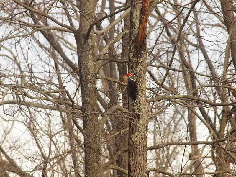Pileated Woodpecker-008.JPG