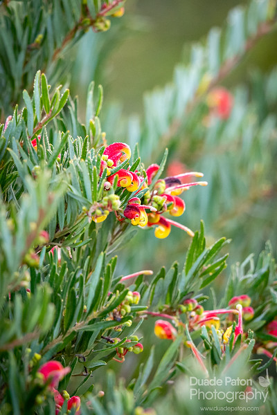 Grevillea--rosmarinifolia-x-alpina-WarbyRanges,VIC-Planted-16719-2w.jpg