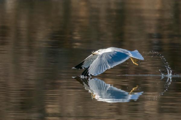 Gulls at Perry State Lake and Lake Shawnee