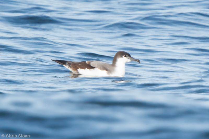 Buller's Shearwater at pelagic out of Bodega Bay, CA (10-15-2011) - 516.jpg