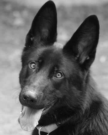 Jack - German Shepherd