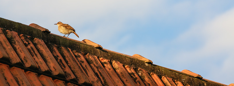 Hornero en el tejado
