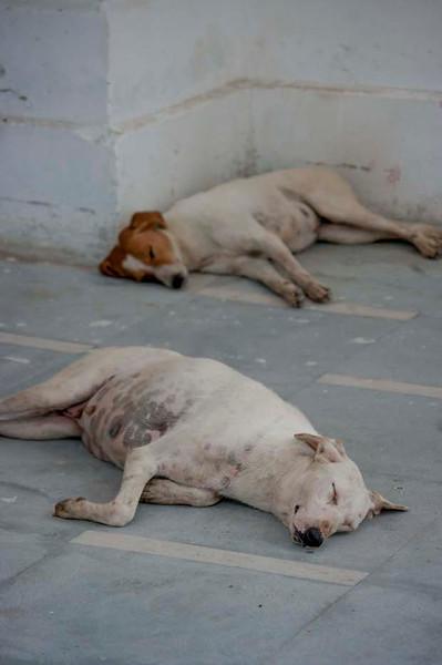 Dogs of Delhi