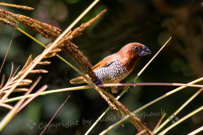 Scaly-breatsted Munia