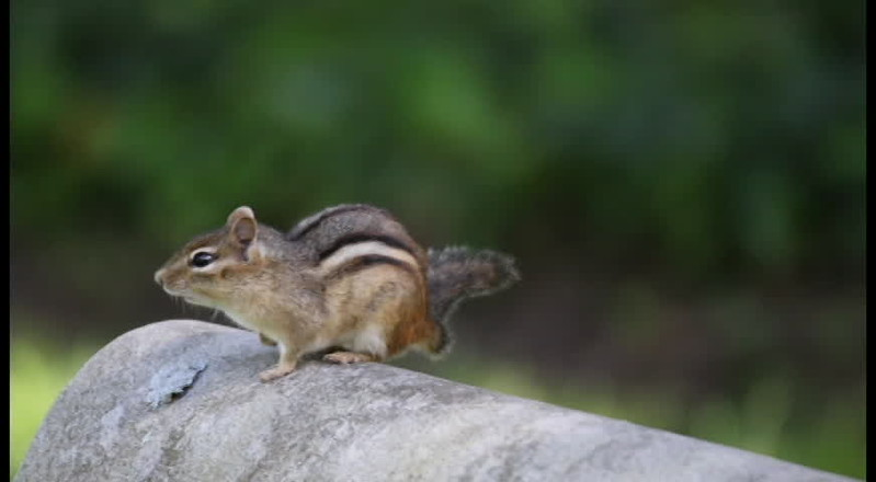 chipmunk.mov