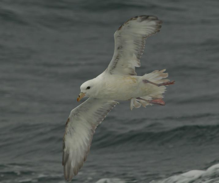 Northern Fulmar  Monterey 2011 09 22-2-1.CR2