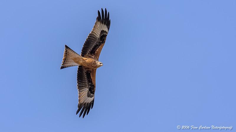 Rød glente (Milvus milvus - Red kite)