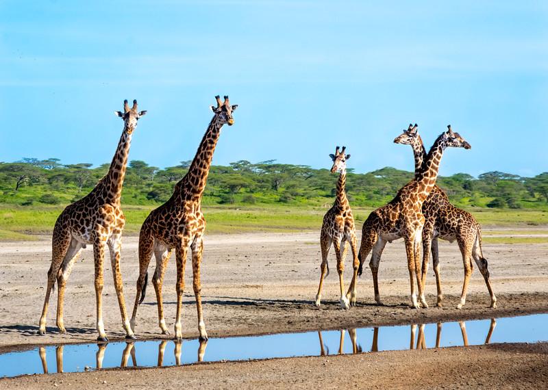 giraffes-112_0221_5592.jpg