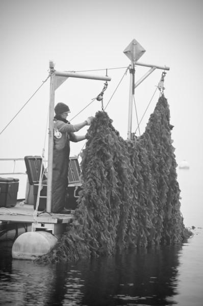 39. Kelp farm, Casco Bay, Maine, May 2013.