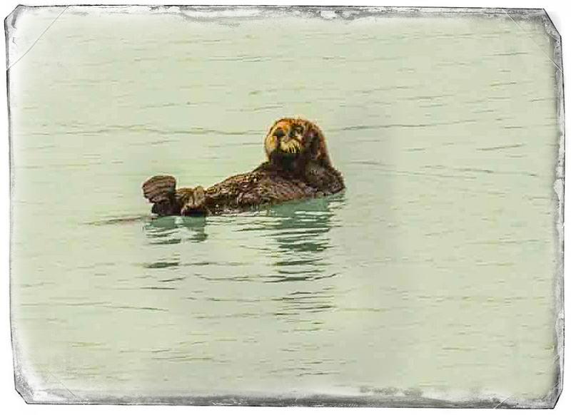 Glacier Bay Otter.jpg