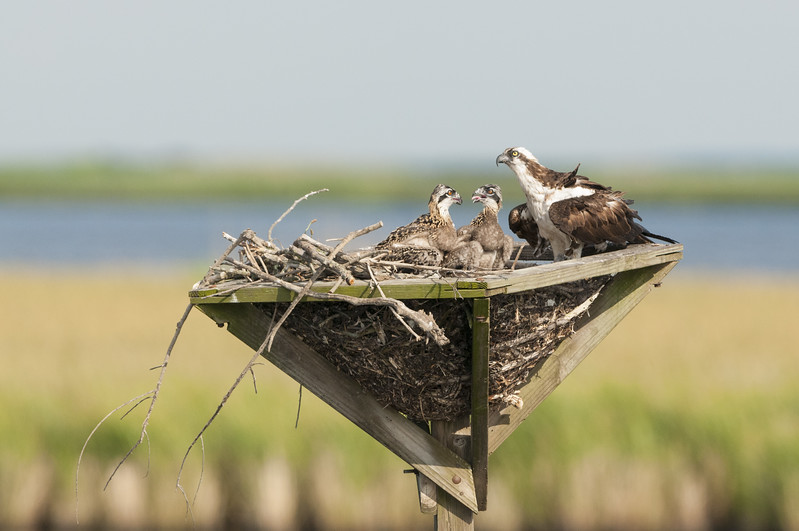 Osprey Mother and Chicks