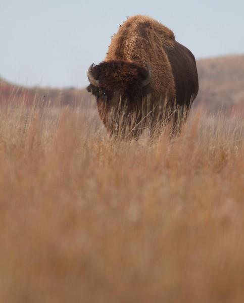 Bison Teddy Roosevelt National Park ND IMG_6801.jpg