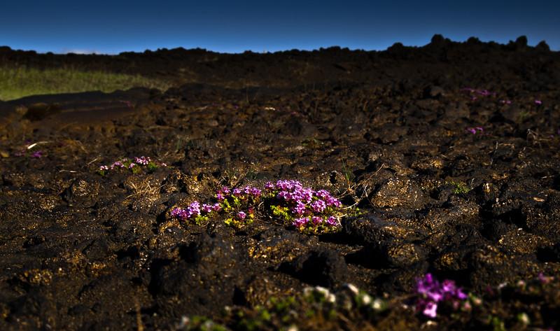 Lava Field Flowers