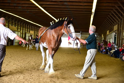 48 582 Jr Champion Clydesdale