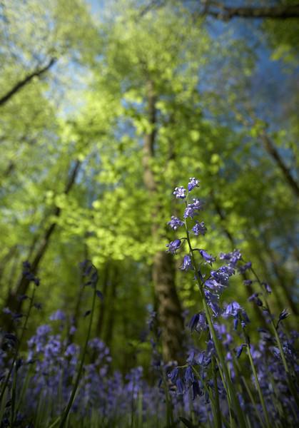 Bluebells - 9192.jpg