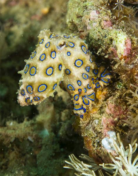 octopus bluering.jpg